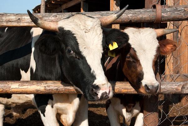 Корова, оказавшаяся быком =)